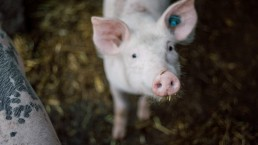 Counterpoint Facial Recognition for Pigs